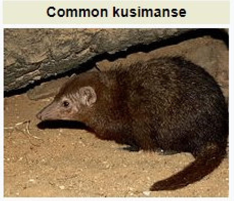 Common Kusimanse