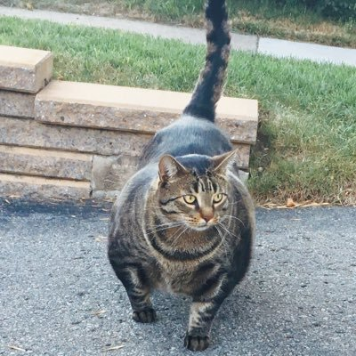 Buff Cat photos and videos